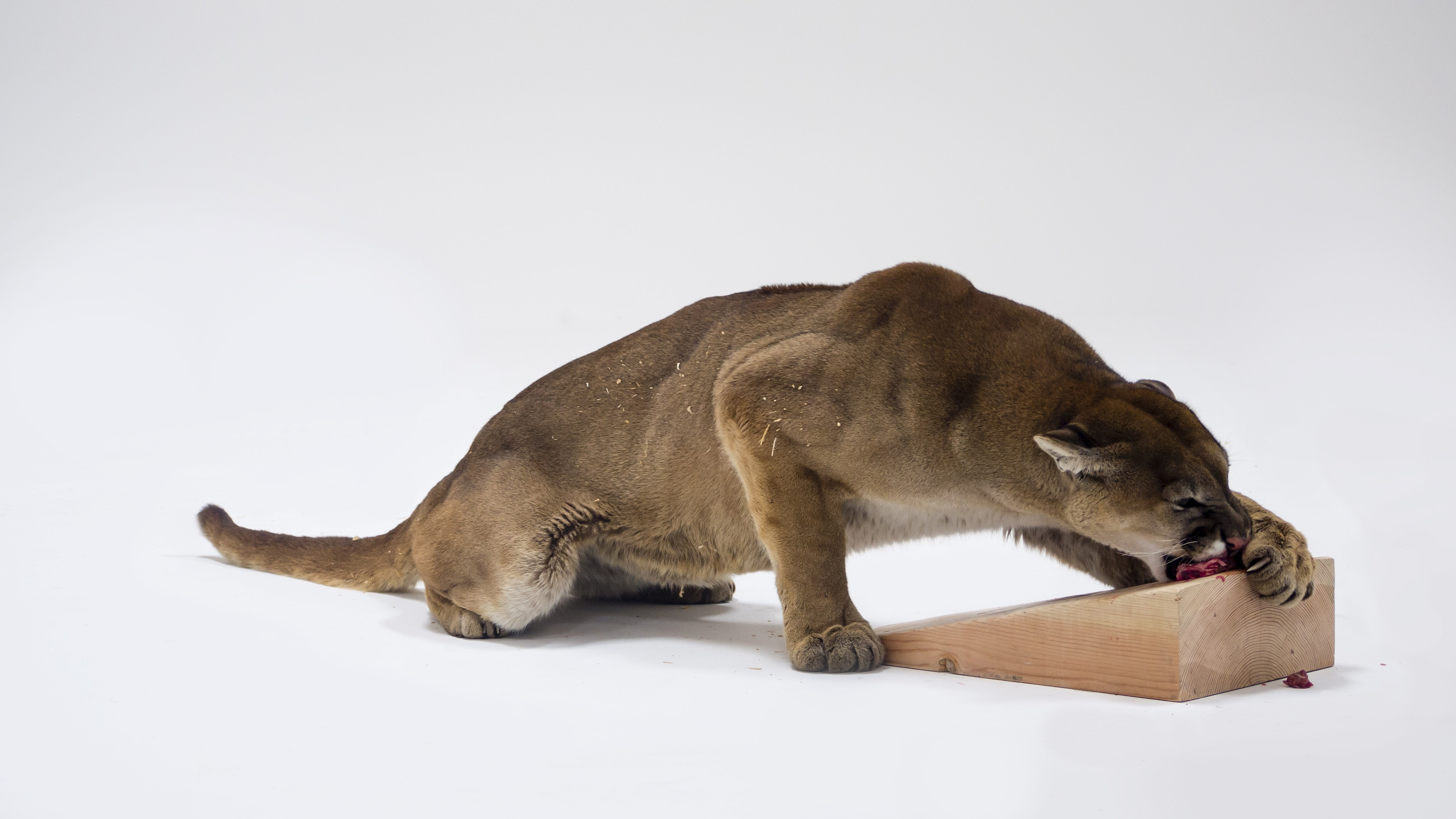 griot-mag-Mountain Lion Attacking a Dog-charles-ray-roma-american-academy-in-rome